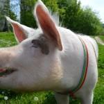 Świnka Lily – niezwykła mieszkanka Warszawy [WIDEO]