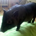 Wietnamska świnka znaleziona na Żoliborzu czeka na adopcję