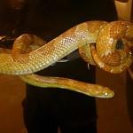 1,5-metrowy wąż zbożowy pełzał w krzakach na Gocławiu