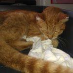 Poszukiwany kot wrócił do właścicielki. Pomógł Eko Patrol