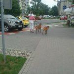 Właścicielka psów z Gocławia jest policjantką? Policja odpowiada