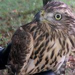 Pomogli młodym ptasim drapieżnikom, które uczyły się latać