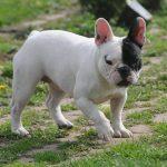 Kolejny skradziony pies! Tym razem to buldog francuski