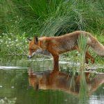 fox-1540833_1280