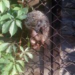 Jeż utknął w ogrodzeniu. Pomogli mu strażnicy miejscy z Patrolu Eko