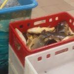 Okropna męczarnia karpi w hipermarkecie. Szokujący film nagrany przez czytelniczkę [WIDEO]